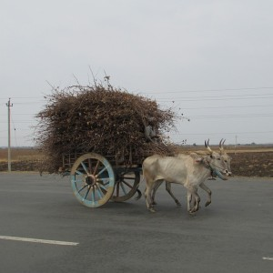Oxen Pulling a Cart